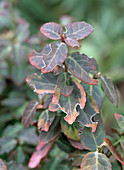 Feeding damaged from the weevil to Euonymus 'Emerald'