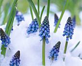 Muscari armeniacum (grape hyacinth) in the snow