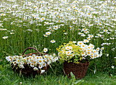 Leucanthemum (spring marguerite) meadow, baskets, alchemilla (lady's mantle)