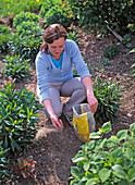 Young woman fertilising a perennial border with horn meal in spring