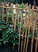Rhododendron behind bamboo fence