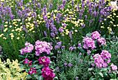 Lavandula 'Munstead' (lavender), Santolina chamaecyparissus