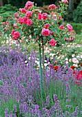 Pink 'Rosarium Uetersen' (climbing rose) on stem, Lavandula)