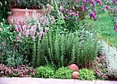 Rosemary (Rosemary), Agastache (anise hyssop)