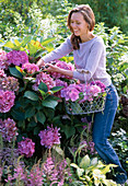 Young woman cutting Hydrangea macrophylla flowers