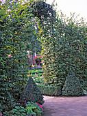 Archway of Carpinus betulus (hornbeam)