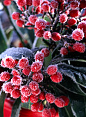 Skimmia Reeversiana (Fruit Kimmie), fruiting with hoarfrost