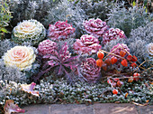 Brassica oleracea (various types of ornamental cabbage)