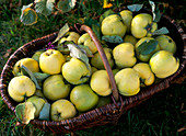Cydonia 'Constantinople' (apple quince), freshly harvested in the basket