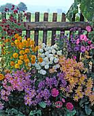 CHRYSANTHEMUM indicum'Clar CURTIS',Goldmarianne','White Bouquet'