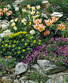 Tulip, Narcissus 'Febuary Gold'