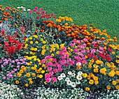 Verbena hybrid, Lobularia maritima 'Snow carpet'