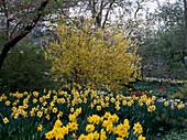 Forsythia X intermedia (forsythia), Narcissus