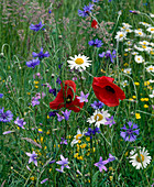 Flower meadow with poppies, daisies, cornflower