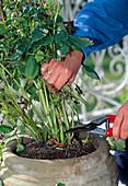 Cut back dahlias before wintering