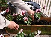 Plant box with Tulipa (tulip) and Viola