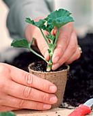Cuttings propagation of Pelargonium zonal