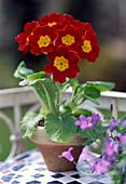 Primula Elatior (High primrose)