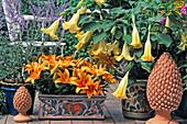 Datura suaveolens syn. Brugmansia (Angel Trumpet), Lilium