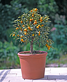 Fortunella japonica (kumquat) with fruits