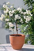 Solanum jasminoides (Jasmine Nightshade)