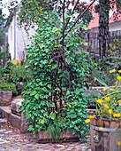 Tropaeolum peregrinum (Canarian nasturtium)
