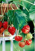 Strawberry 'Elsanta' (fragaria) bears sweet aromatic fruits