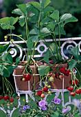 Strawberry 'Elsanta' (Fragaria) bears sweet, aromatic fruits