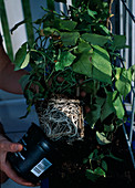Screening with annual climbing plants