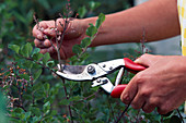 Cut back the dwarf lilac after flowering