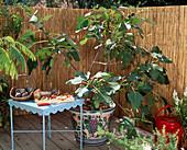 Toscana, Ficus carica 'Bavarian fig', fruits