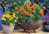 Tagetes patula (marigold) in iron bowl and pot