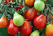 Tomato 'Red Pear', red pear