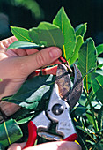 Pruning of laurel