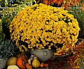 Dendranthema indicum, Autumn chrysanthemum, diameter 1, 5 M