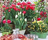 Tulipa 'Electra', Tulipa 'Tarda'