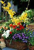 Forsythia, campanula, tulips,