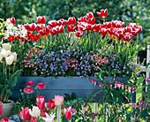 Tulipa 'Funny Widow' (red-white), 'White Dream'