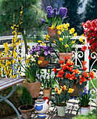 Tulipa 'Calypso', Hyacinthus orientalis