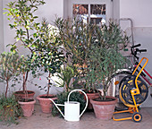 Container plants at the cool wintering place