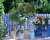 Balcony with blue and white covering. Solanum