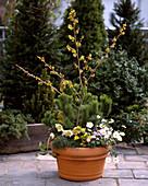 Pinus mugo, Helleborus, Hamamelis 'Arnols Promise'