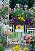 Balcony = Box = Salvia, Verbena 'Tapien', Bidens