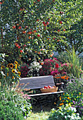 Autumn garden with Malus 'James Grieve' (apple tree)