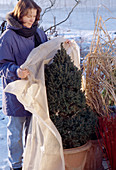 Protect conifers with fleece from winter sun - Picea pungens 'Conica'