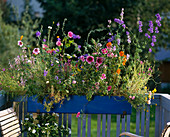 Flower meadow in the balcony box with Helipterum, Silene