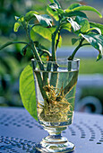 Roasting datura cuttings in a glass of water