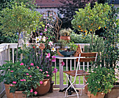 Scented Plants Balcony with Lilium, Citrus, Pelargonium