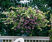 Scaevola aemula, Helichrysum