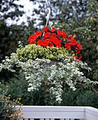 Helichrysum petiolare 'Rondello', Origanum vulgare
